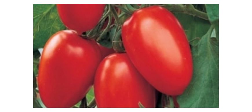 Tomate determinate cu fruct oval